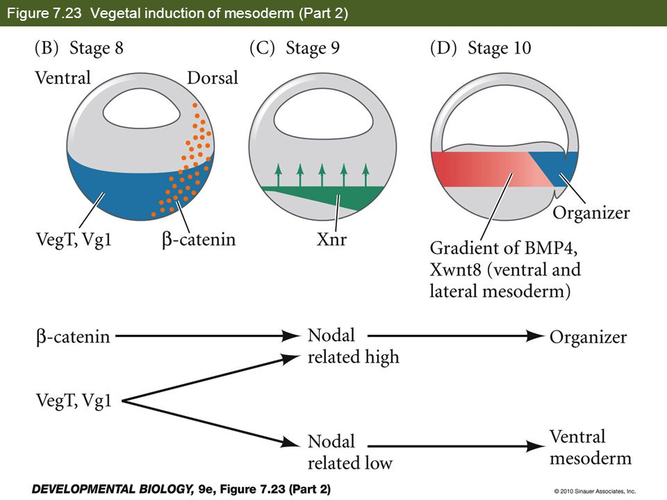 Figure 7.23 Vegetal induction of mesoderm (Part 2)