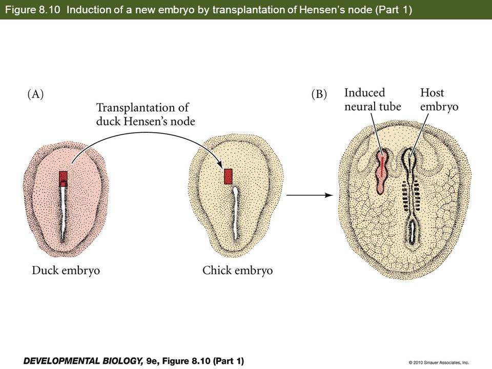 Figure 8.10 Induction of a new embryo by transplantation of Hensen's node (Part 1)