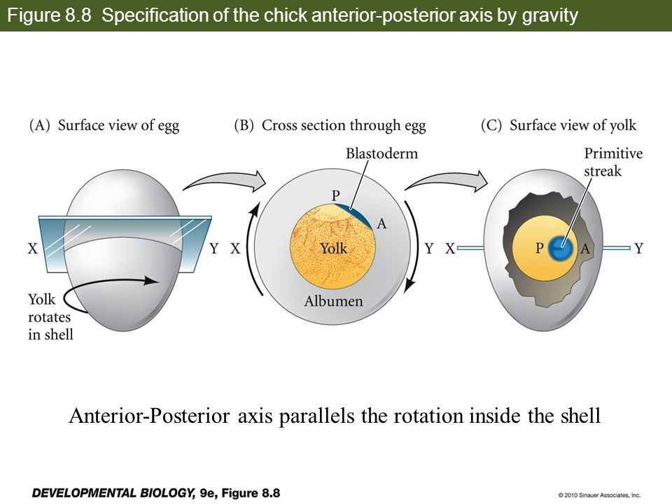 Anterior-Posterior axis parallels the rotation inside the shell