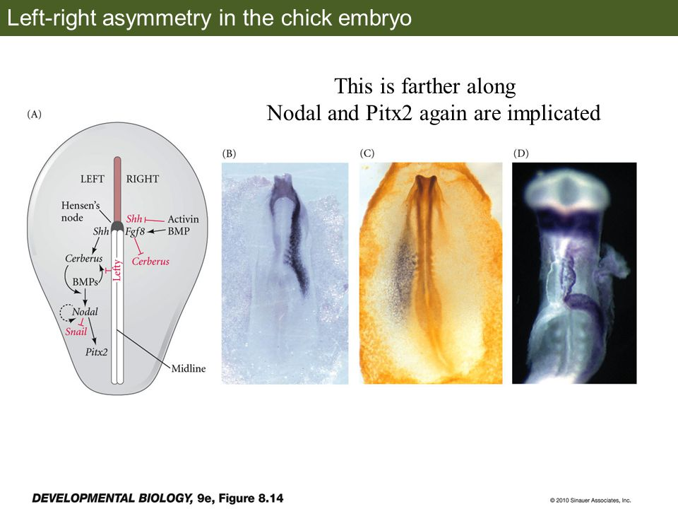 Left-right asymmetry in the chick embryo