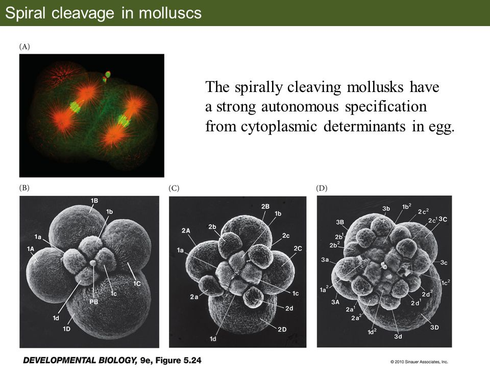 Spiral cleavage in molluscs