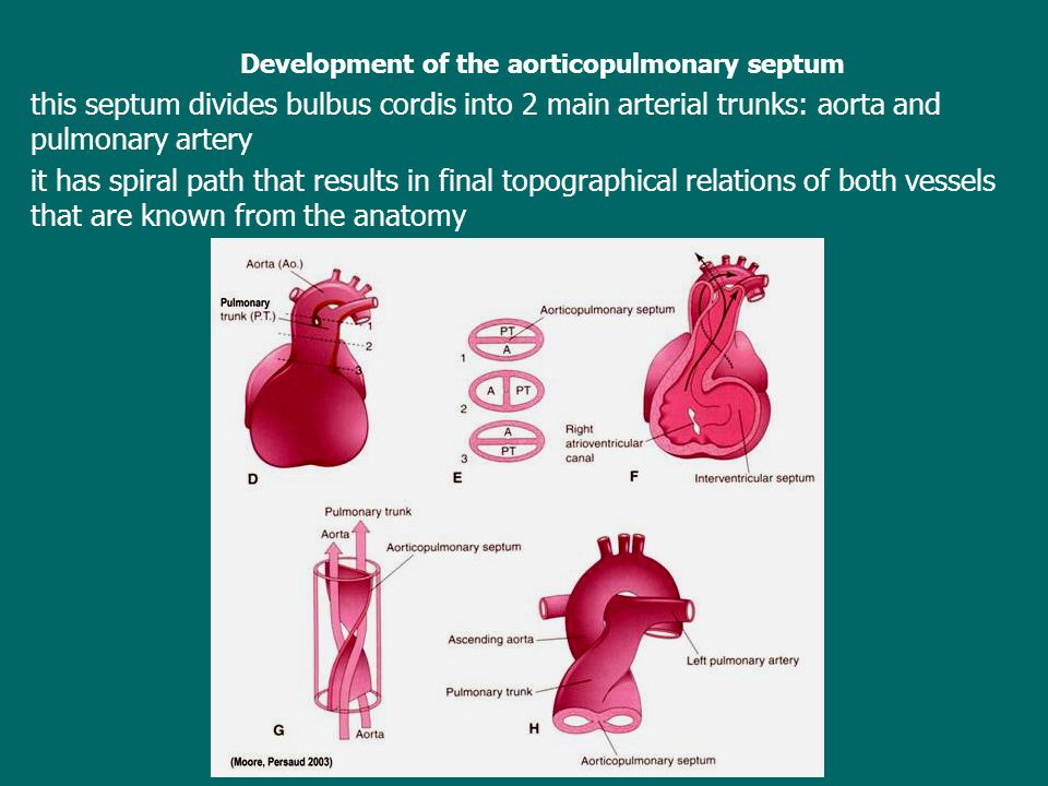 Development of the aorticopulmonary septum