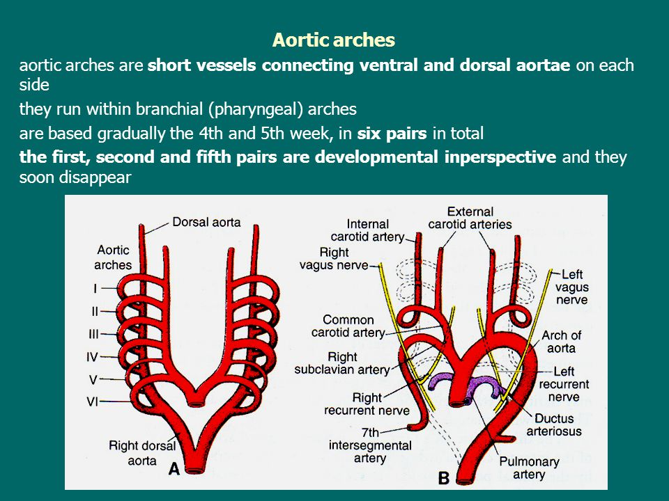 Aortic arches aortic arches are short vessels connecting ventral and dorsal aortae on each side. they run within branchial (pharyngeal) arches.