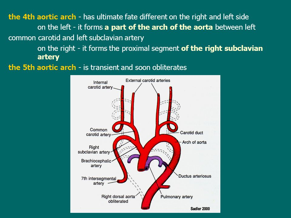 the 4th aortic arch - has ultimate fate different on the right and left side