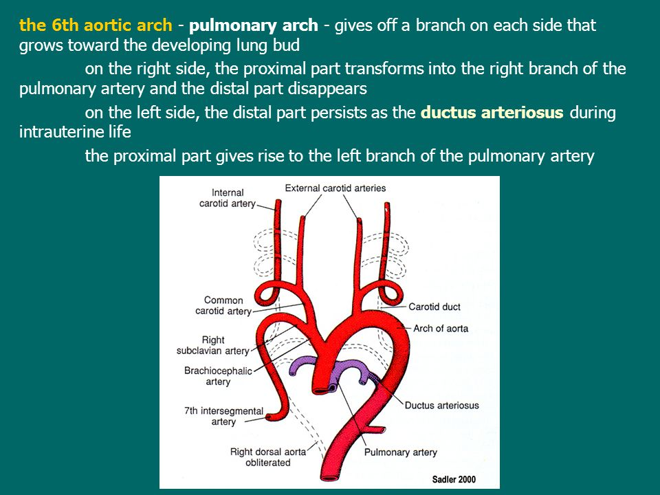 the 6th aortic arch - pulmonary arch - gives off a branch on each side that grows toward the developing lung bud