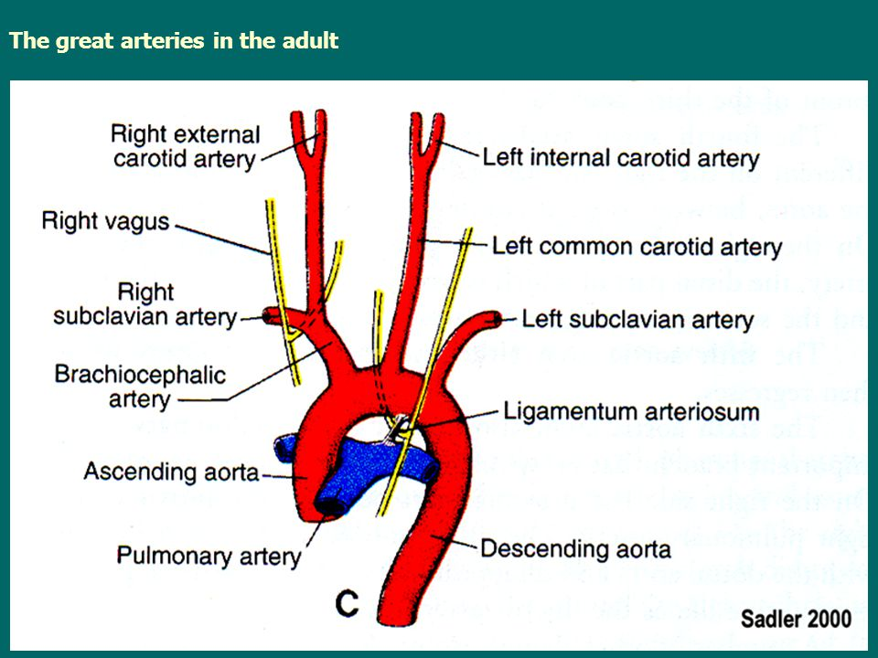 The great arteries in the adult