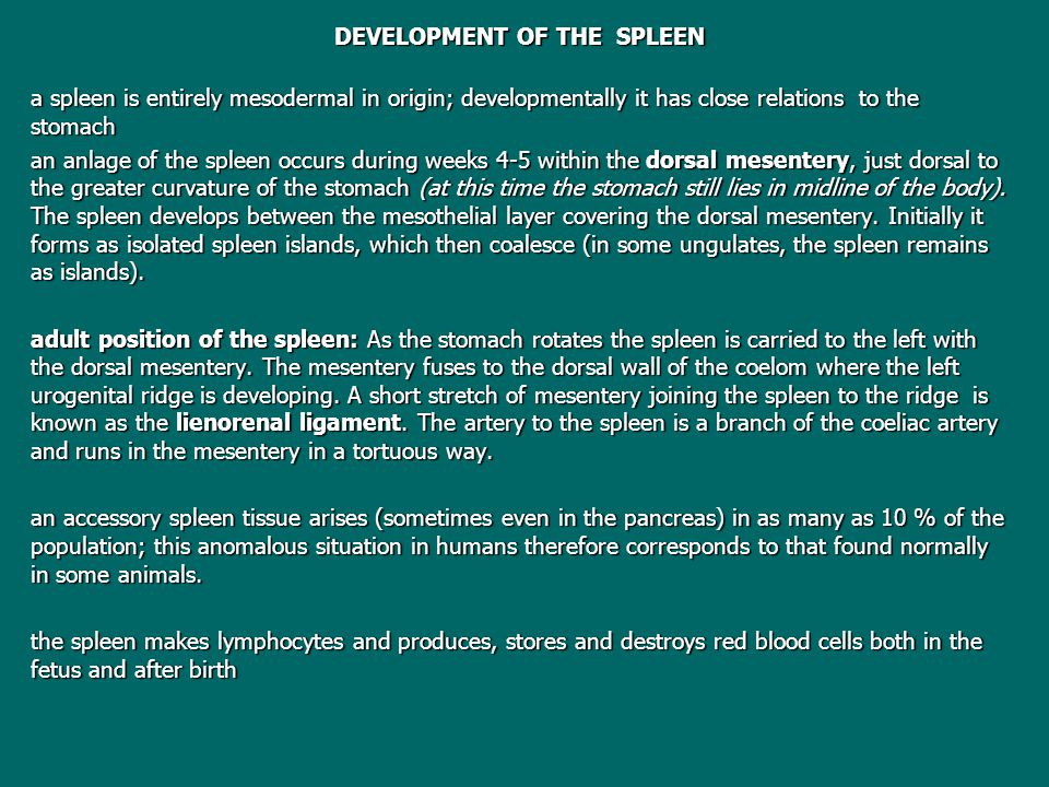 DEVELOPMENT OF THE SPLEEN