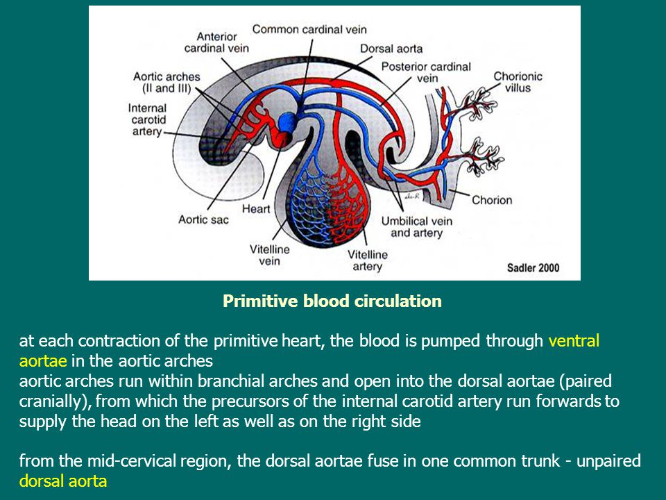 Primitive blood circulation