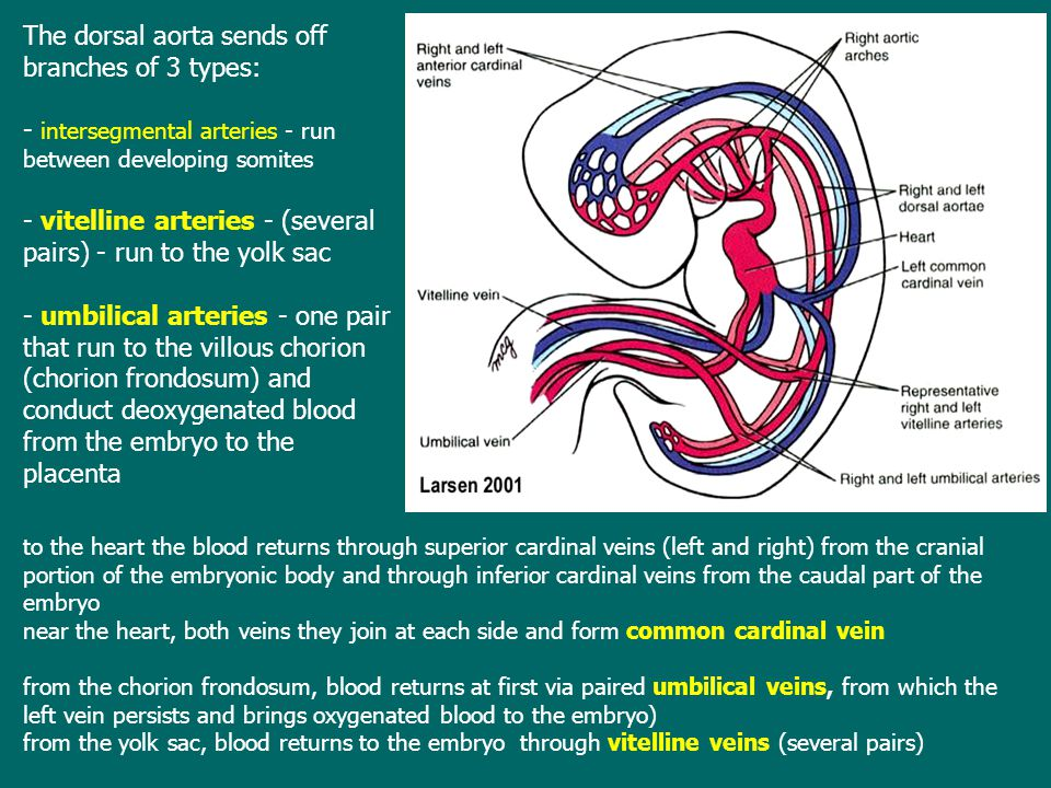 The dorsal aorta sends off branches of 3 types: