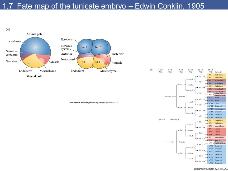 1.7 Fate map of the tunicate embryo – Edwin Conklin, 1905