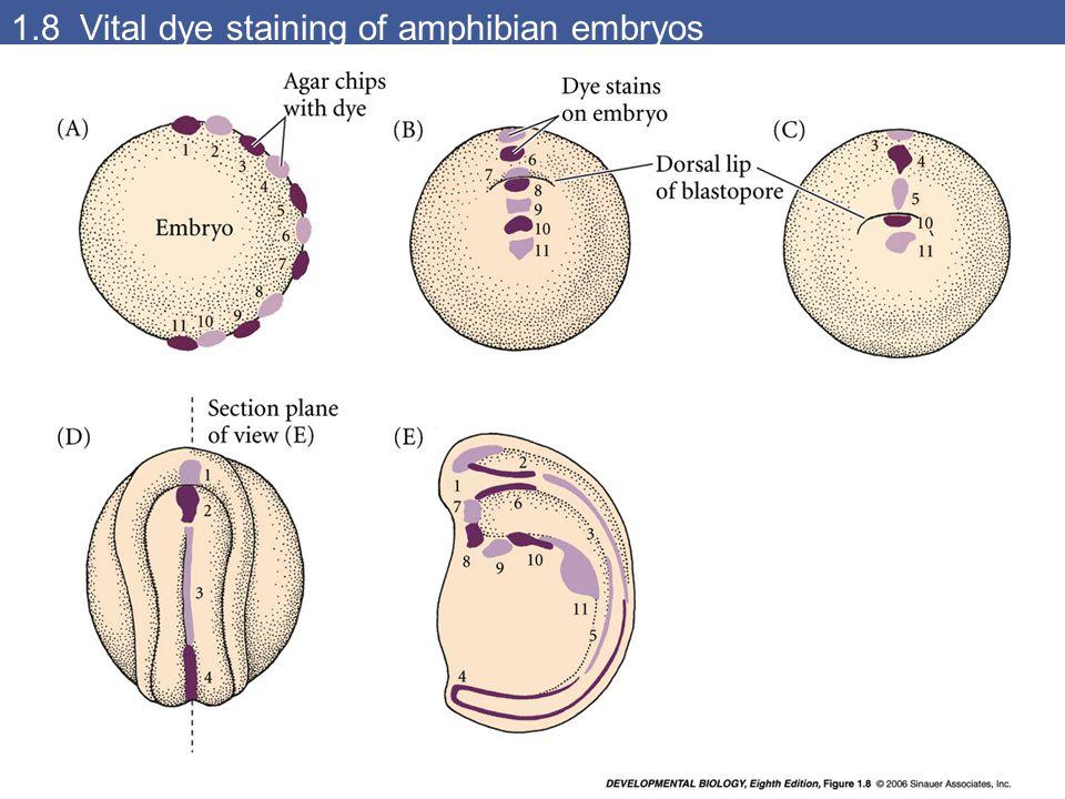 1.8 Vital dye staining of amphibian embryos