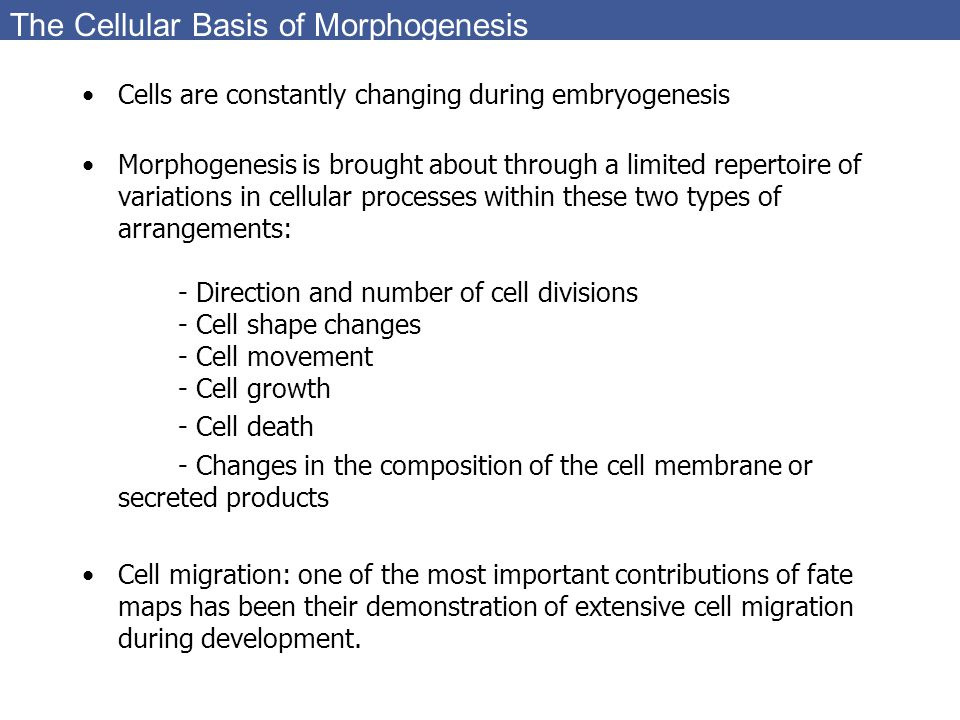The Cellular Basis of Morphogenesis