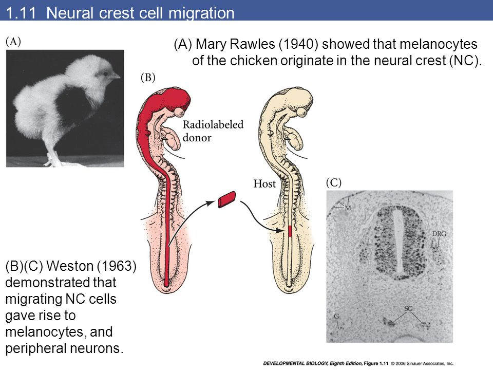1.11 Neural crest cell migration