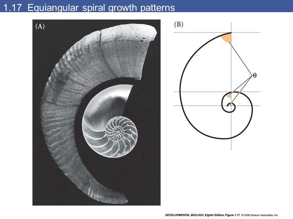 1.17 Equiangular spiral growth patterns