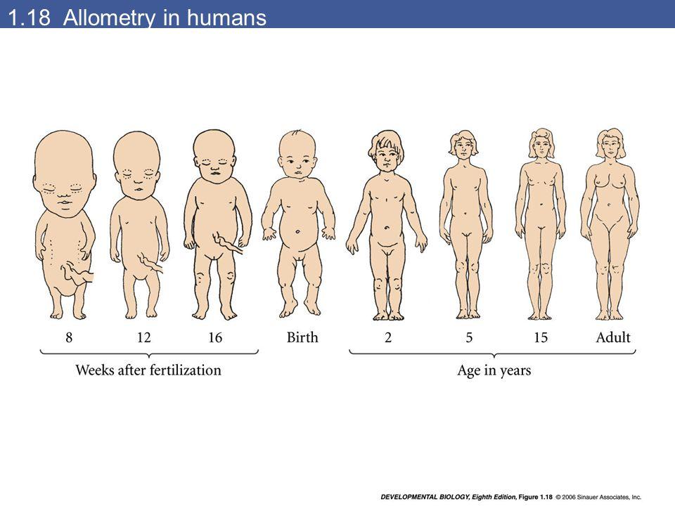 1.18 Allometry in humans devbio8e-fig-01-18-0.jpg