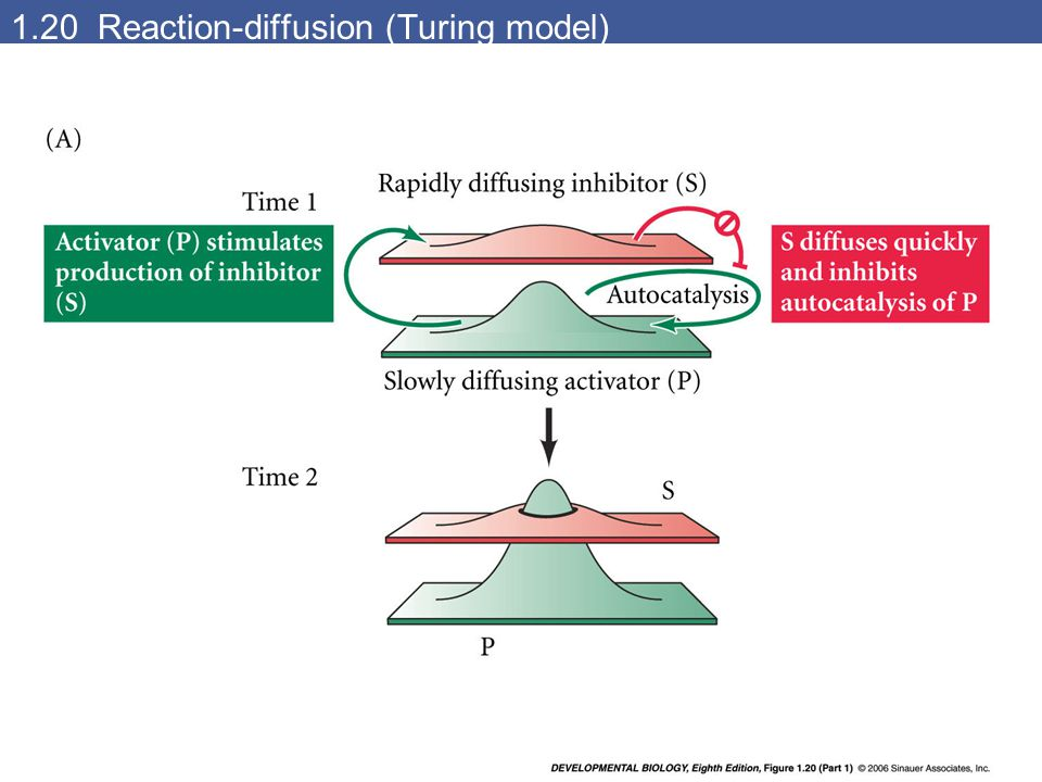 1.20 Reaction-diffusion (Turing model)