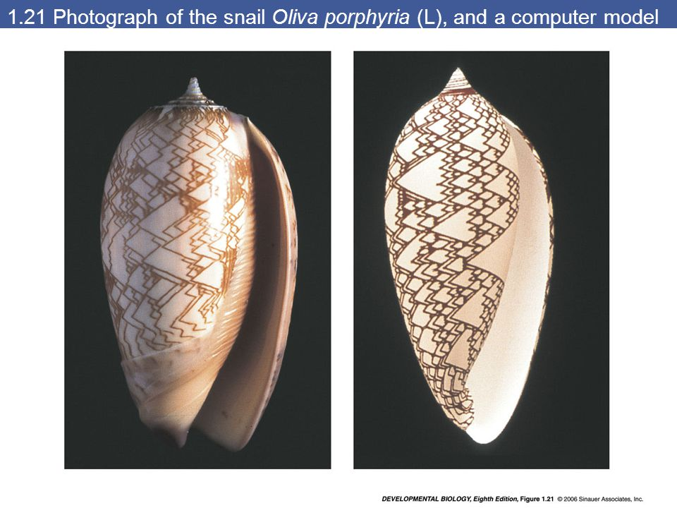 1.21 Photograph of the snail Oliva porphyria (L), and a computer model