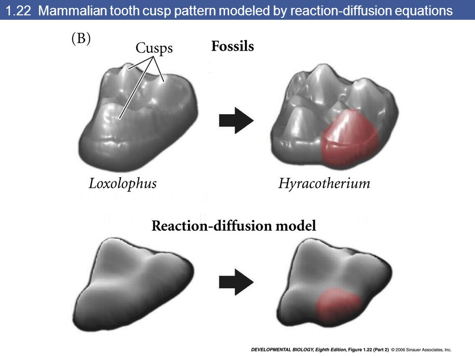 1.22 Mammalian tooth cusp pattern modeled by reaction-diffusion equations