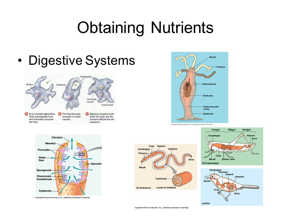 Obtaining Nutrients Digestive Systems