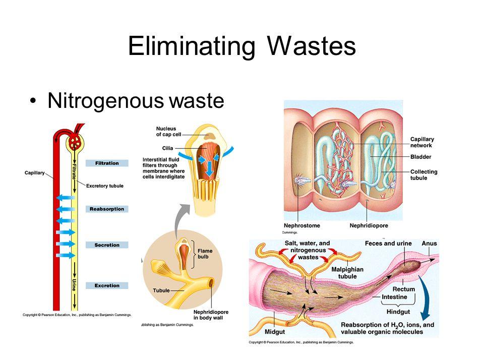 Eliminating Wastes Nitrogenous waste