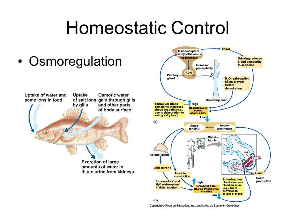 Homeostatic Control Osmoregulation