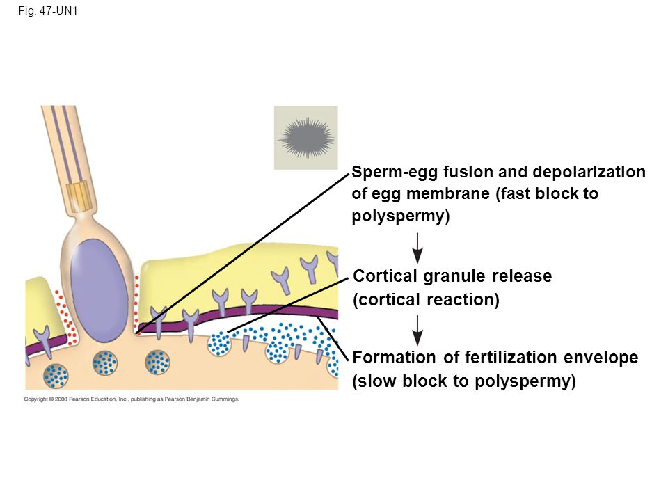 Cortical granule release (cortical reaction)