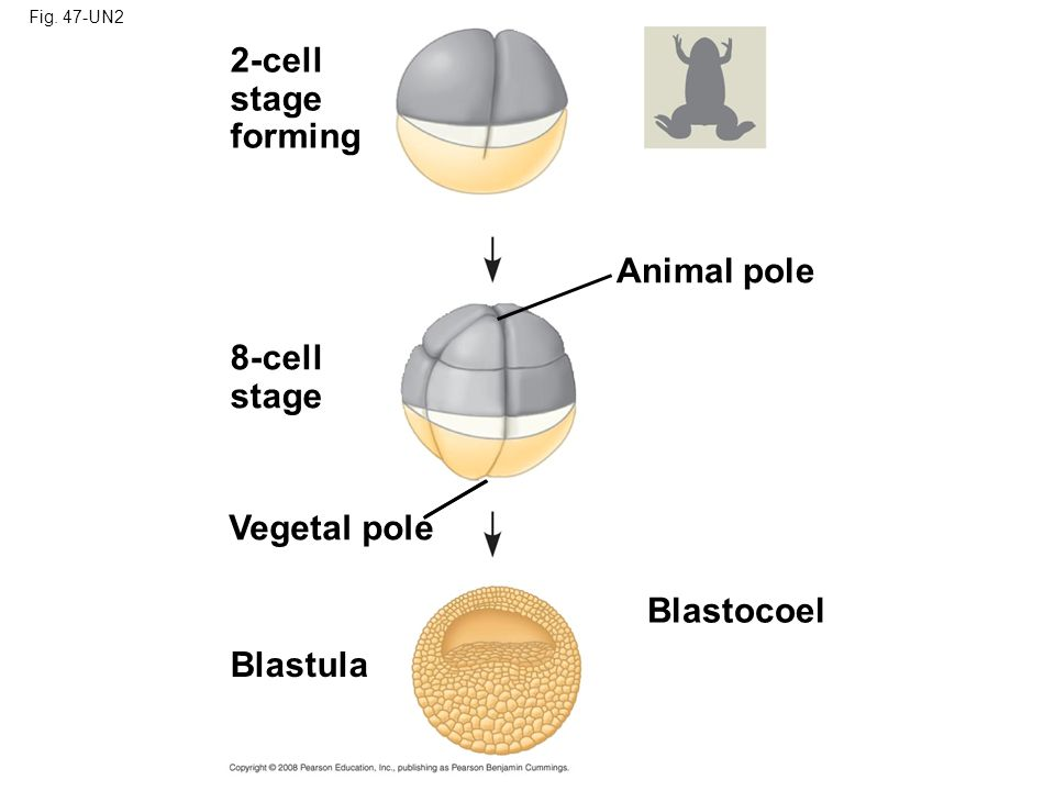 2-cell stage forming Animal pole 8-cell stage Vegetal pole Blastocoel