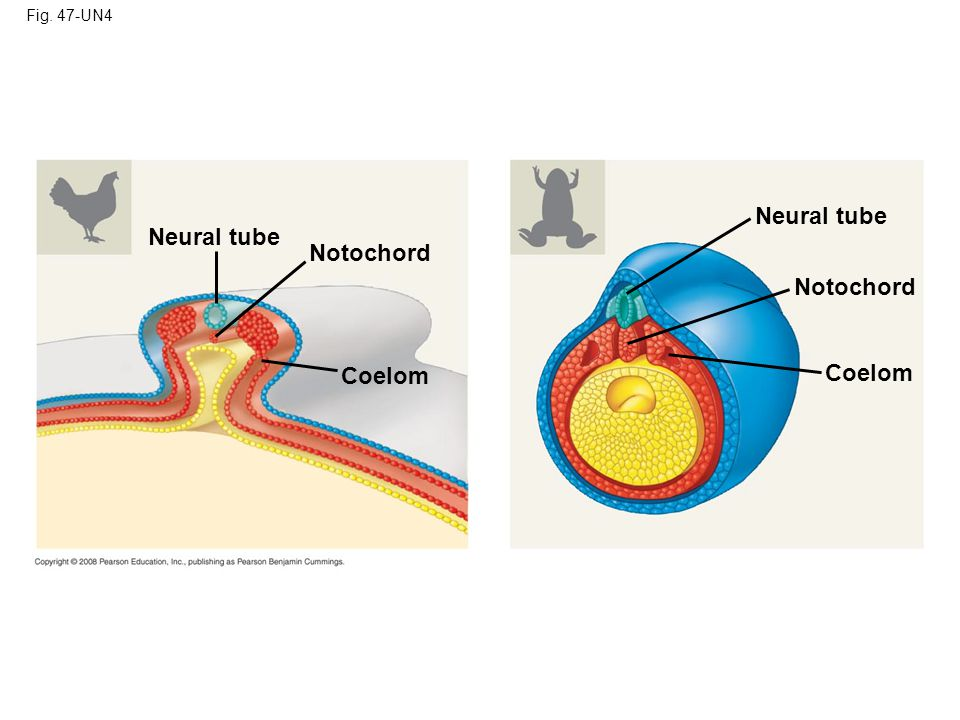 Fig. 47-UN4 Neural tube Neural tube Notochord Notochord Coelom Coelom