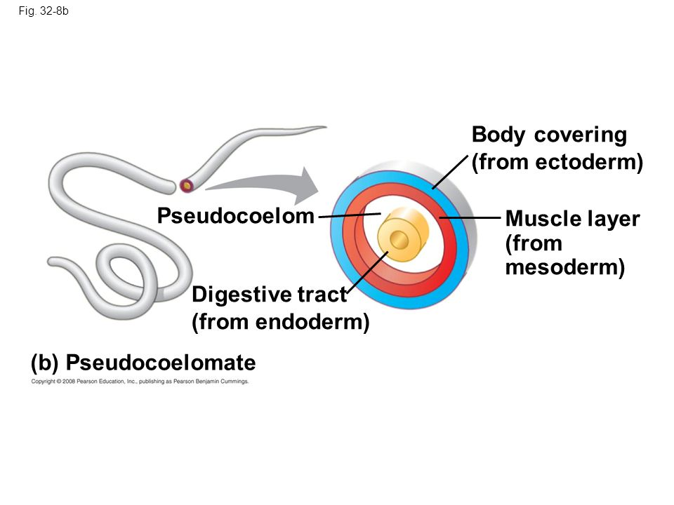 Body covering (from ectoderm) Pseudocoelom Muscle layer (from