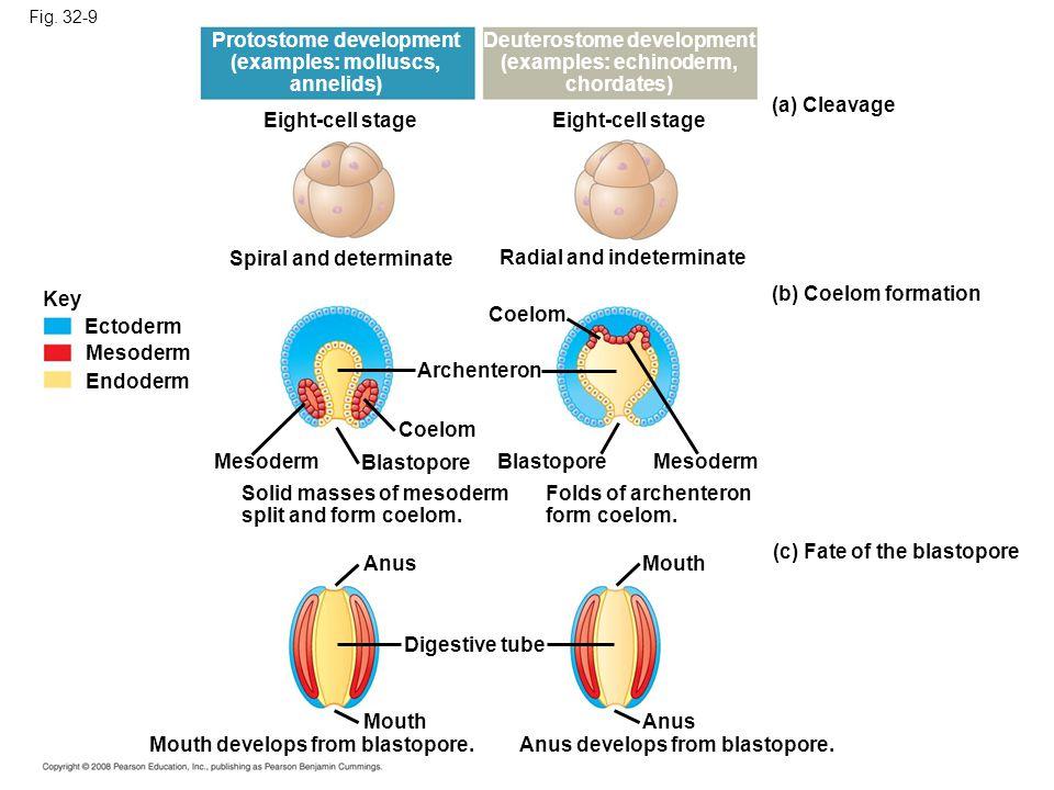 Protostome development Deuterostome development (examples: echinoderm,
