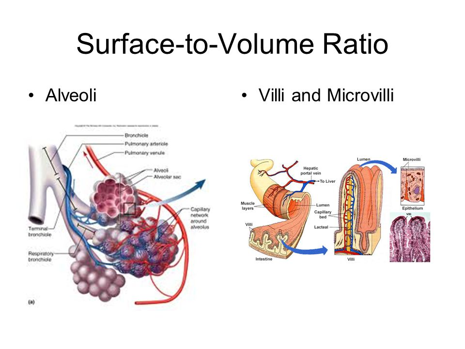 Surface-to-Volume Ratio