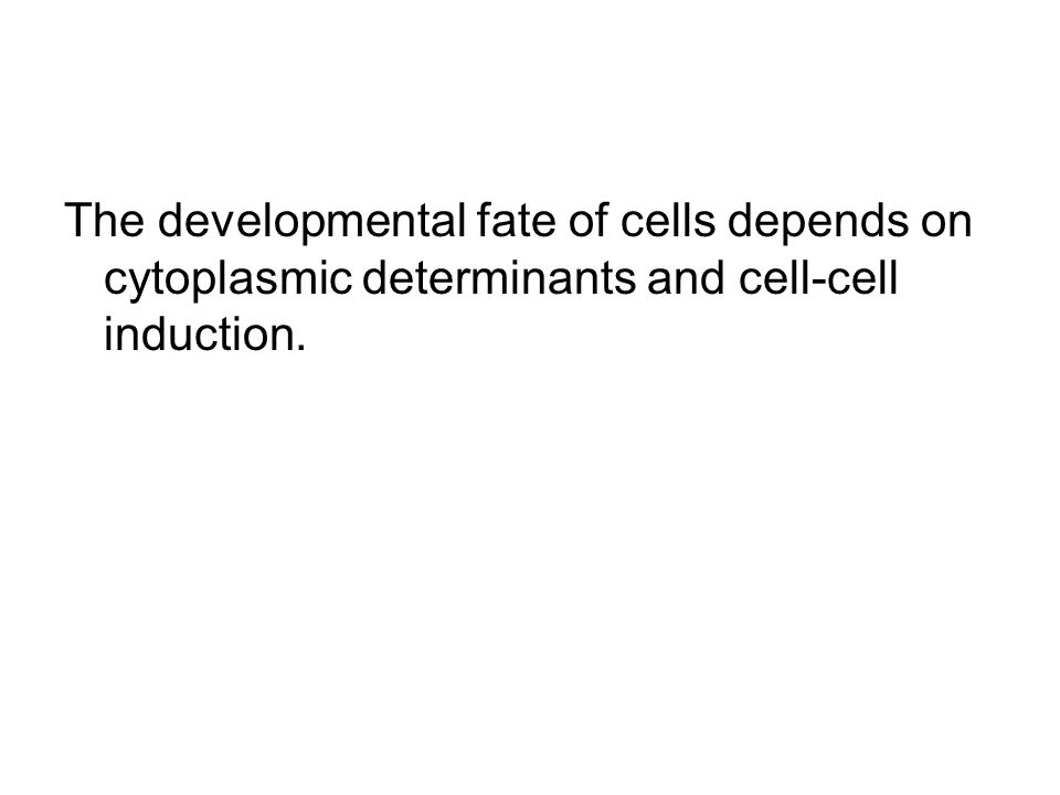 The developmental fate of cells depends on cytoplasmic determinants and cell-cell induction.