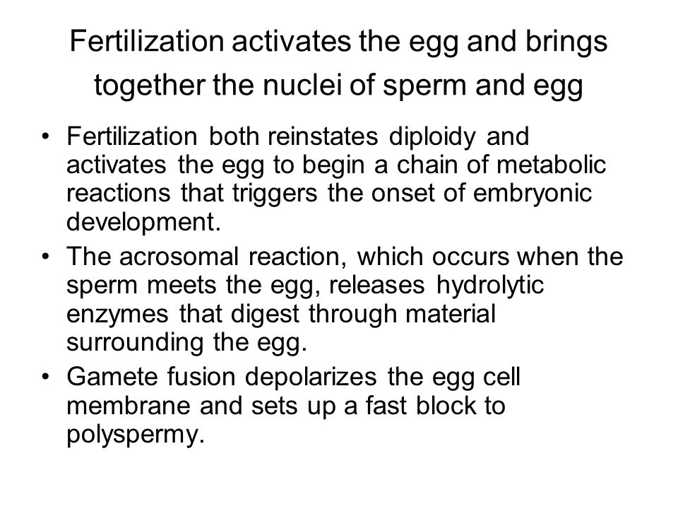 Fertilization activates the egg and brings together the nuclei of sperm and egg