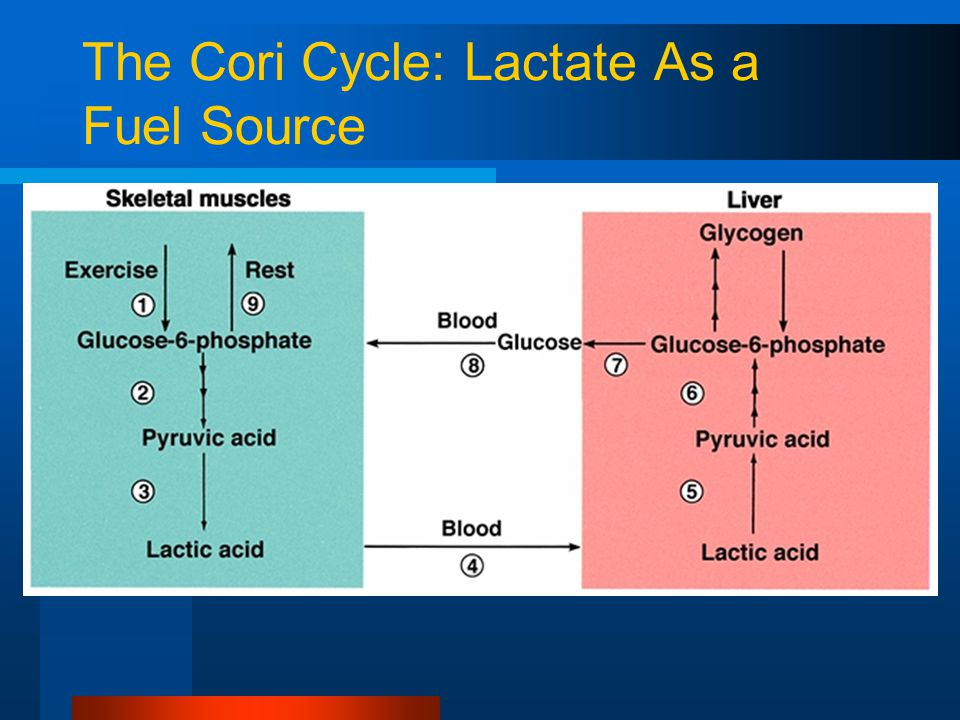 The Cori Cycle: Lactate As a Fuel Source