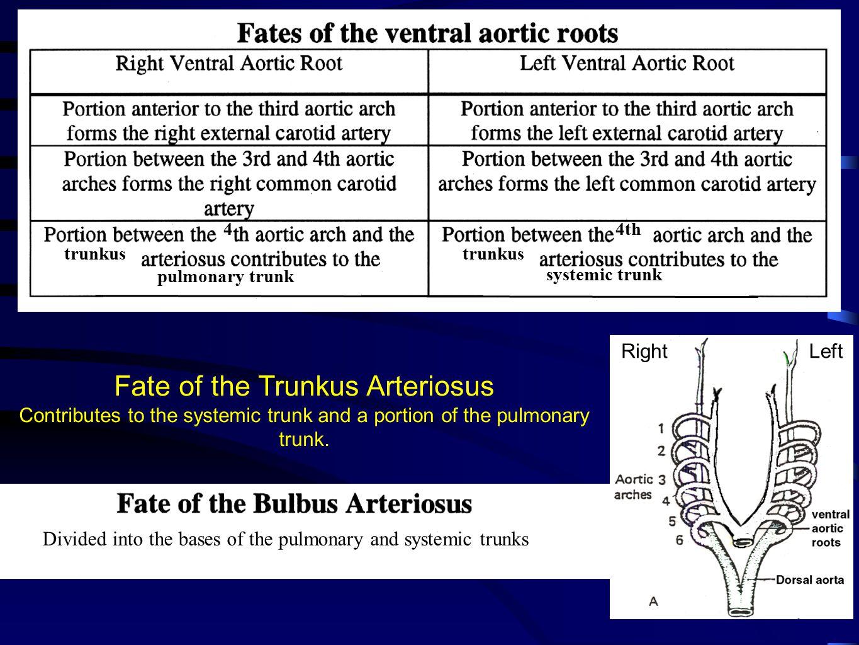 Fate of the Trunkus Arteriosus