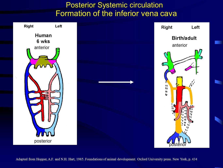 Formation of the inferior vena cava