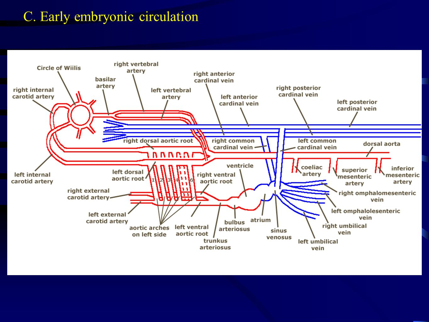 C. Early embryonic circulation