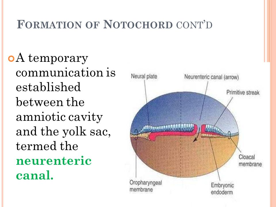Formation of Notochord cont'd