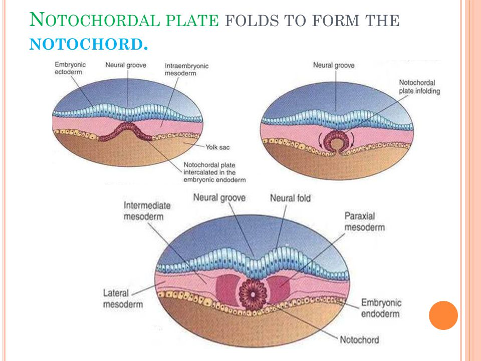 Notochordal plate folds to form the notochord.