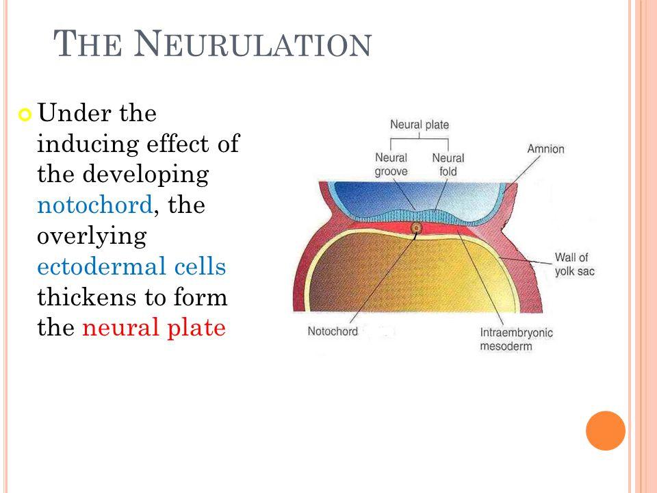 The Neurulation