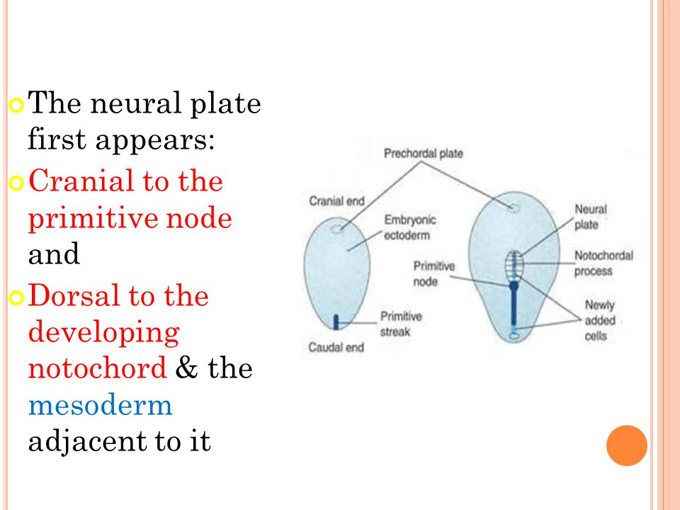 The neural plate first appears: