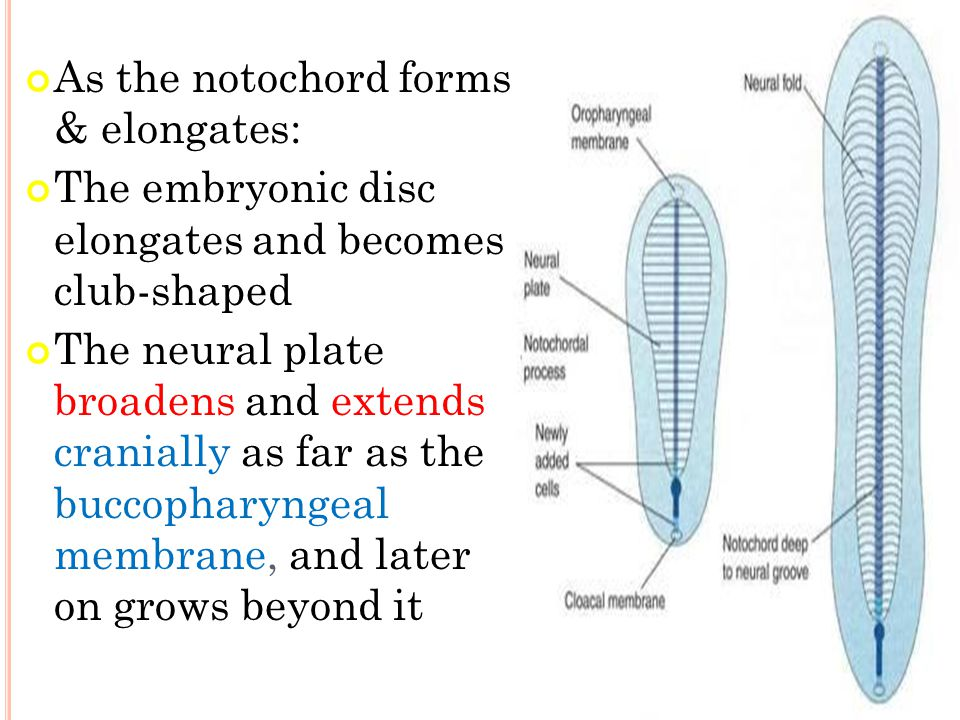 As the notochord forms & elongates: