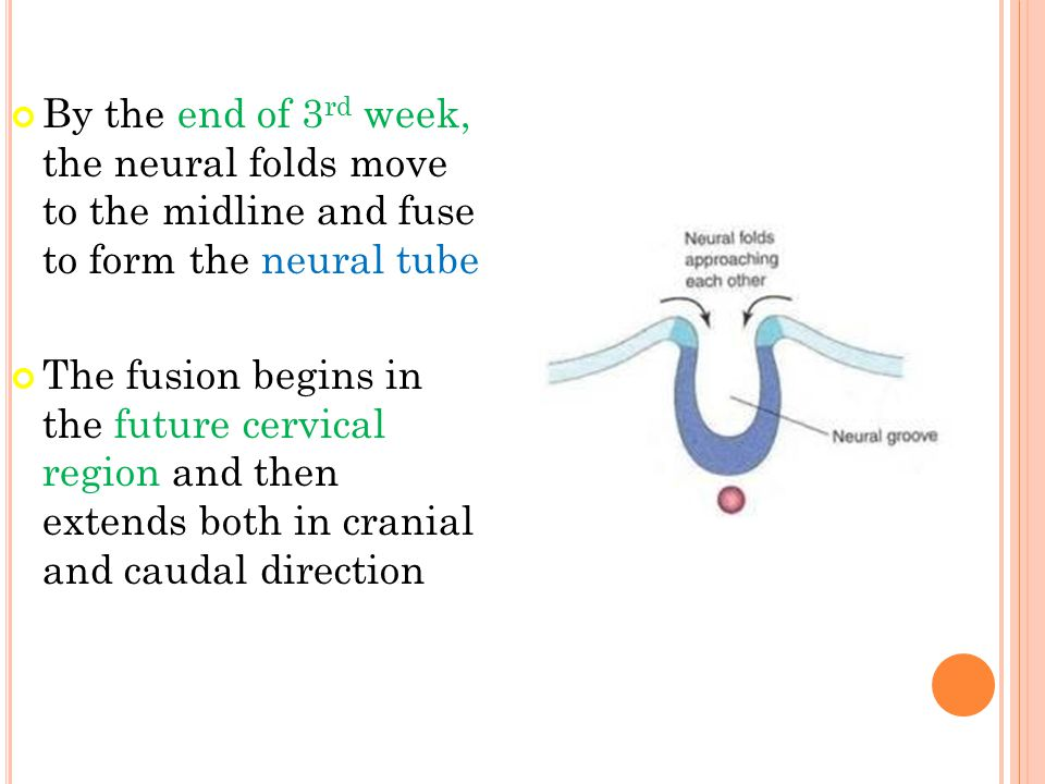 By the end of 3rd week, the neural folds move to the midline and fuse to form the neural tube