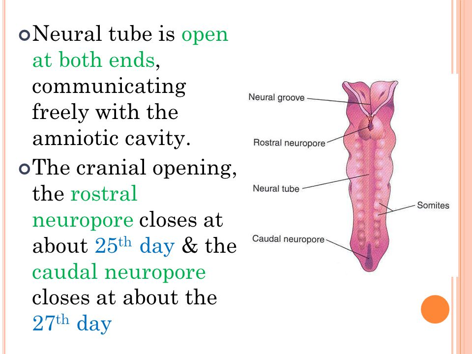 Neural tube is open at both ends, communicating freely with the amniotic cavity.