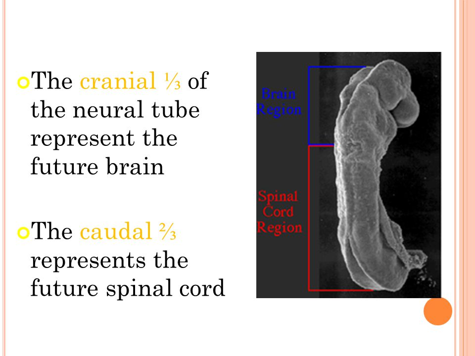 The cranial ⅓ of the neural tube represent the future brain