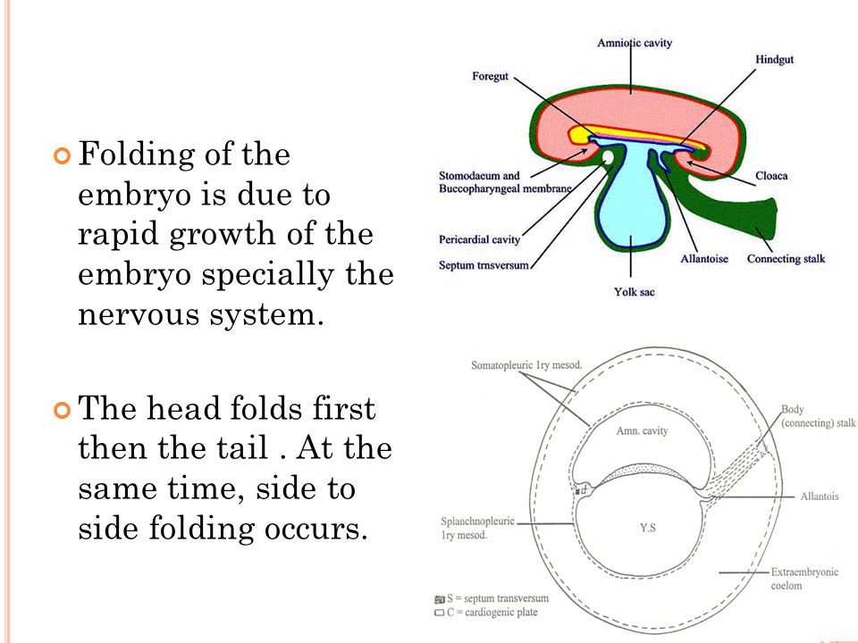 Folding of the embryo is due to rapid growth of the embryo specially the nervous system.