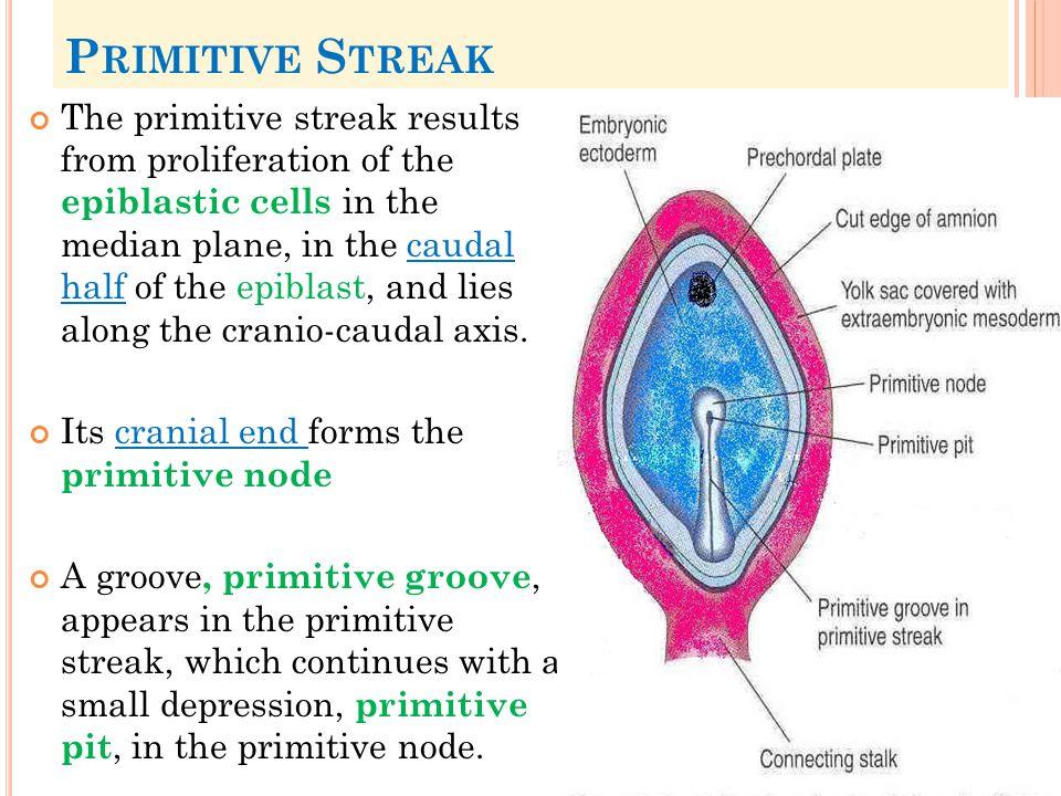 Primitive Streak
