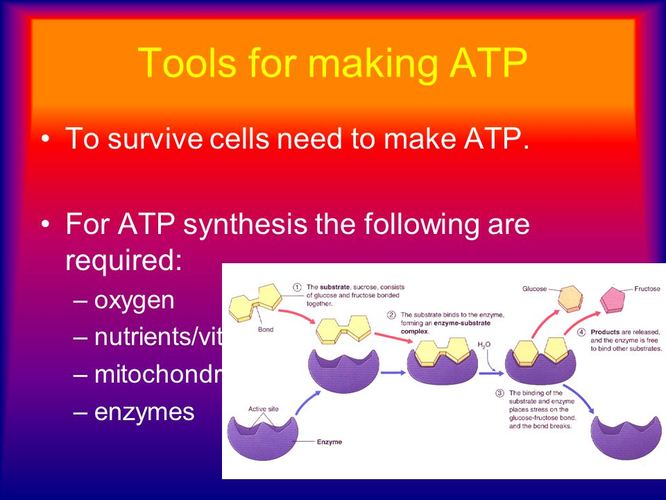 Tools for making ATP To survive cells need to make ATP.