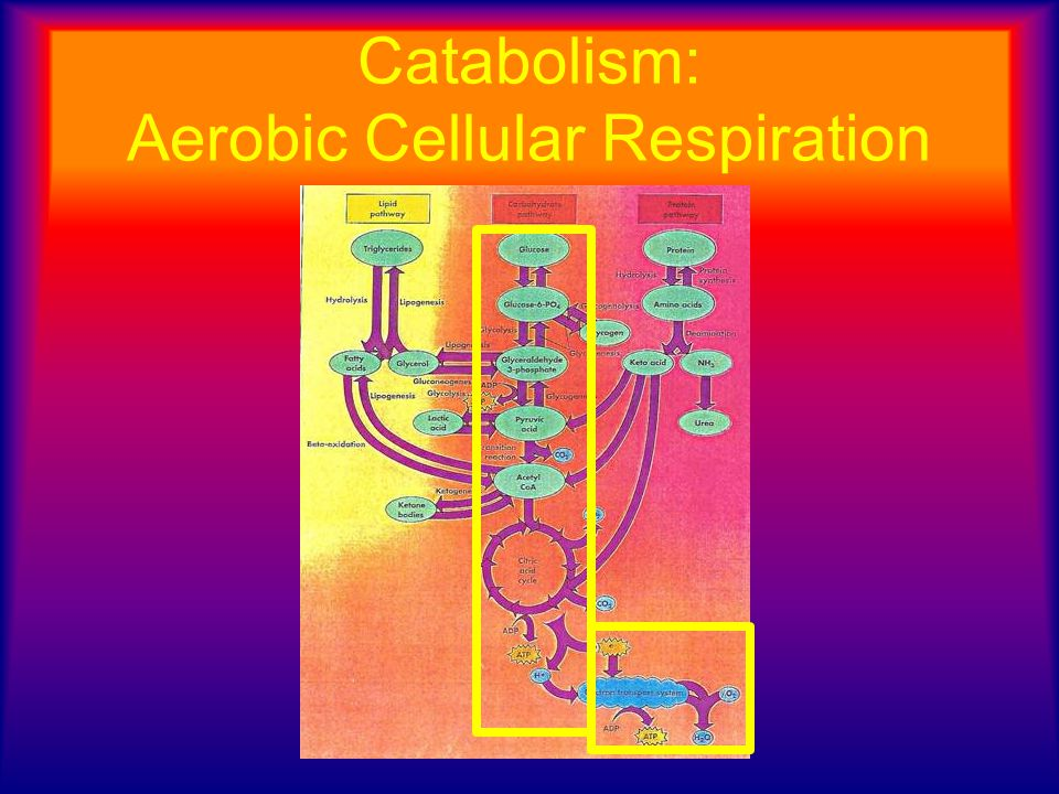 Catabolism: Aerobic Cellular Respiration