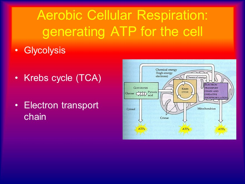 Aerobic Cellular Respiration: generating ATP for the cell
